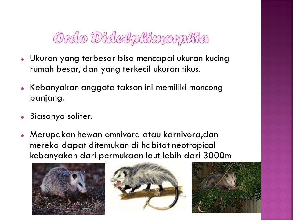 Ordo Didelphimorphia Ukuran yang terbesar bisa mencapai ukuran kucing rumah besar, dan yang terkecil ukuran tikus.
