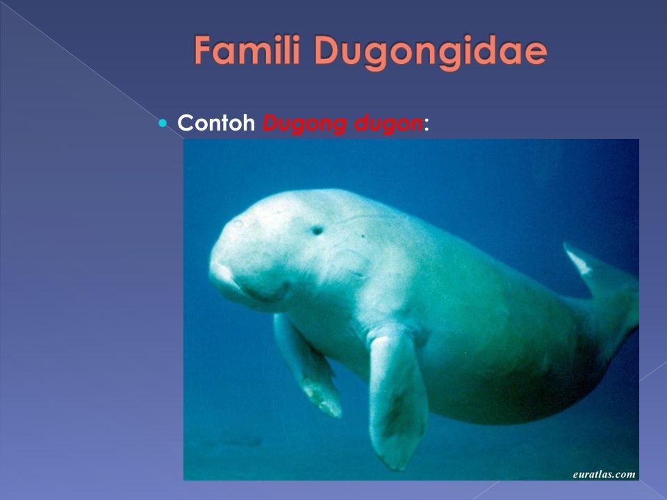 Famili Dugongidae Contoh Dugong dugon: