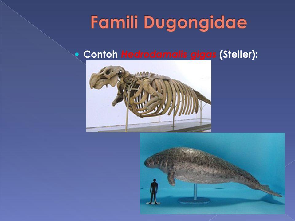 Famili Dugongidae Contoh Hedrodamalis gigas (Steller):