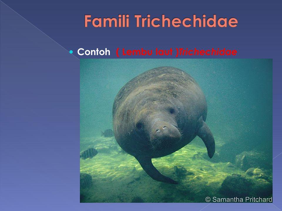 Famili Trichechidae Contoh ( Lembu laut )Trichechidae