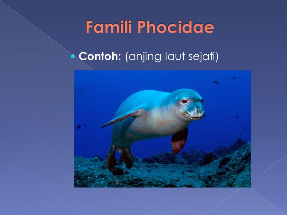 Famili Phocidae Contoh: (anjing laut sejati)