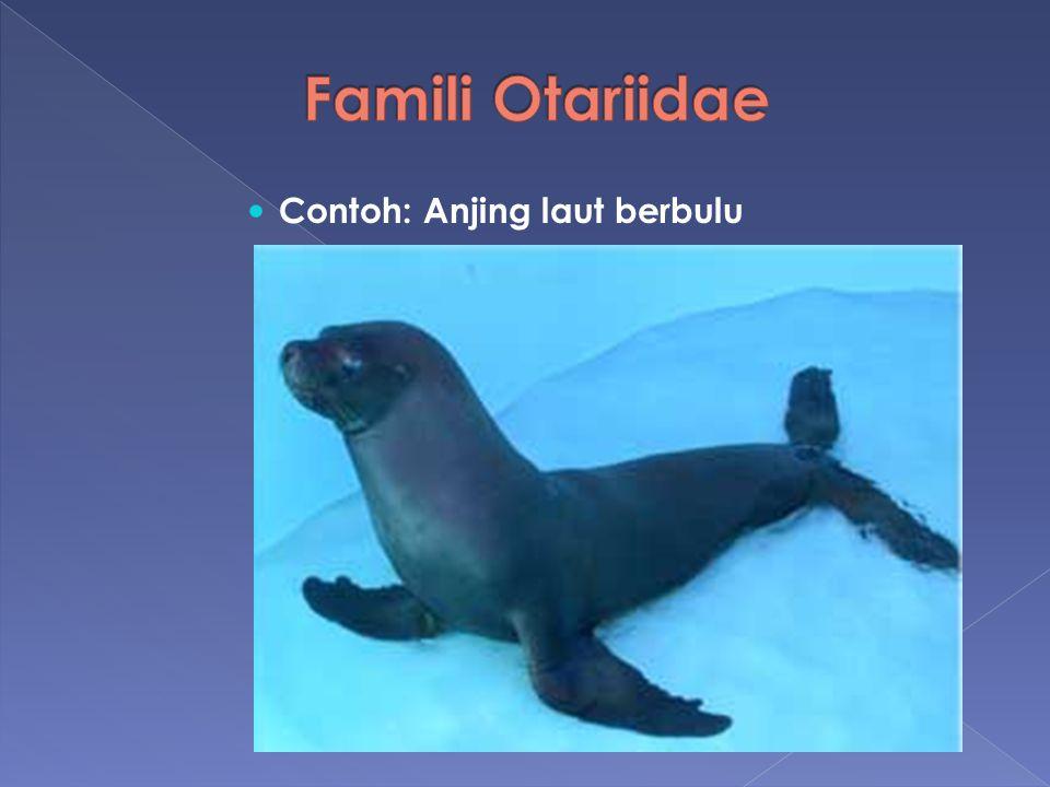 Famili Otariidae Contoh: Anjing laut berbulu