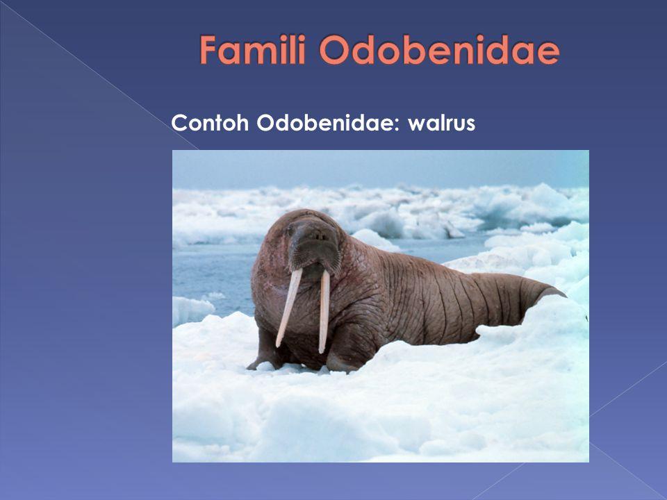 Famili Odobenidae Contoh Odobenidae: walrus