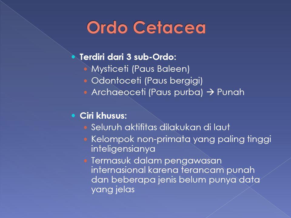 Ordo Cetacea Terdiri dari 3 sub-Ordo: Mysticeti (Paus Baleen)