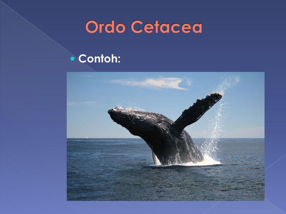 Ordo Cetacea Contoh:
