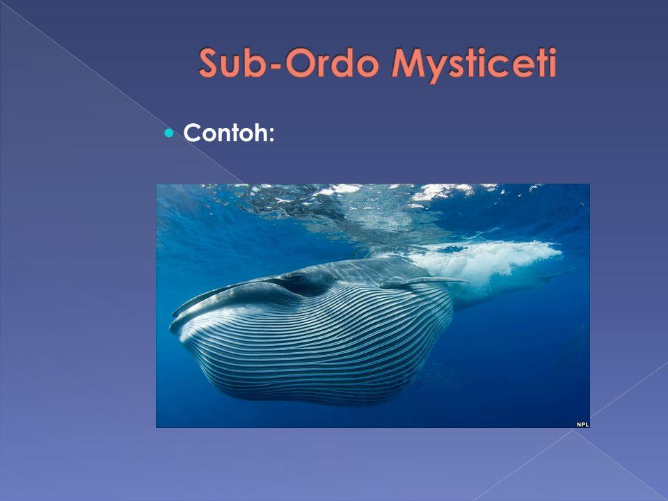 Sub-Ordo Mysticeti Contoh: