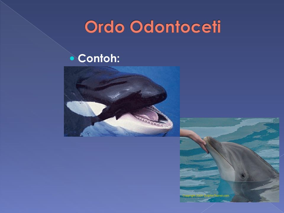 Ordo Odontoceti Contoh: