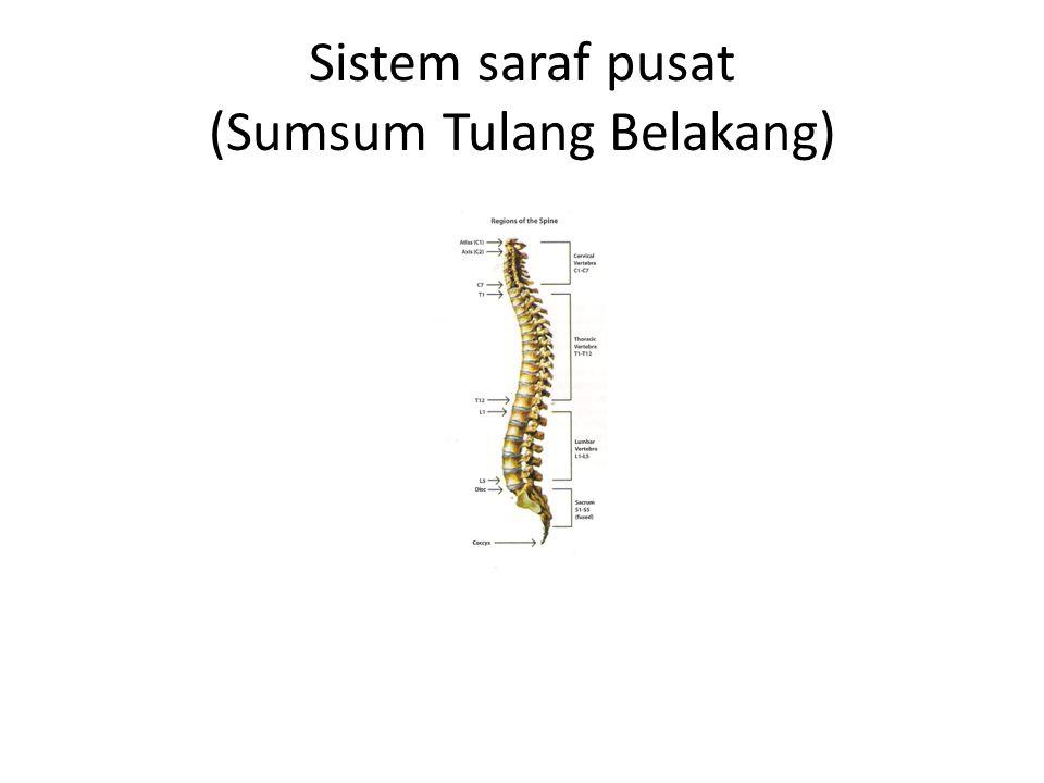 Sistem saraf pusat (Sumsum Tulang Belakang)
