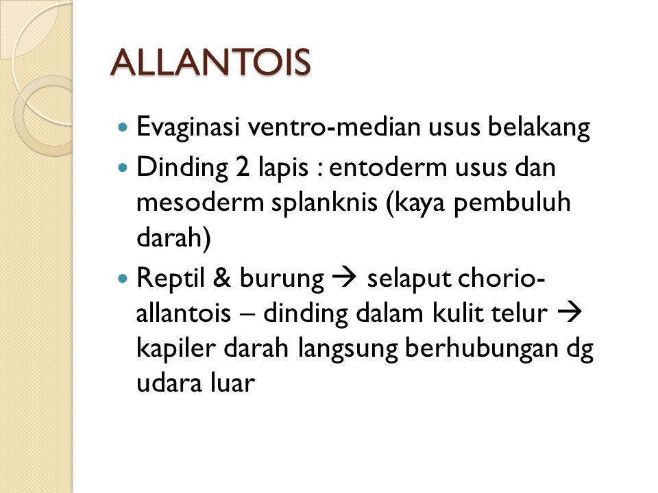 ALLANTOIS Evaginasi ventro-median usus belakang
