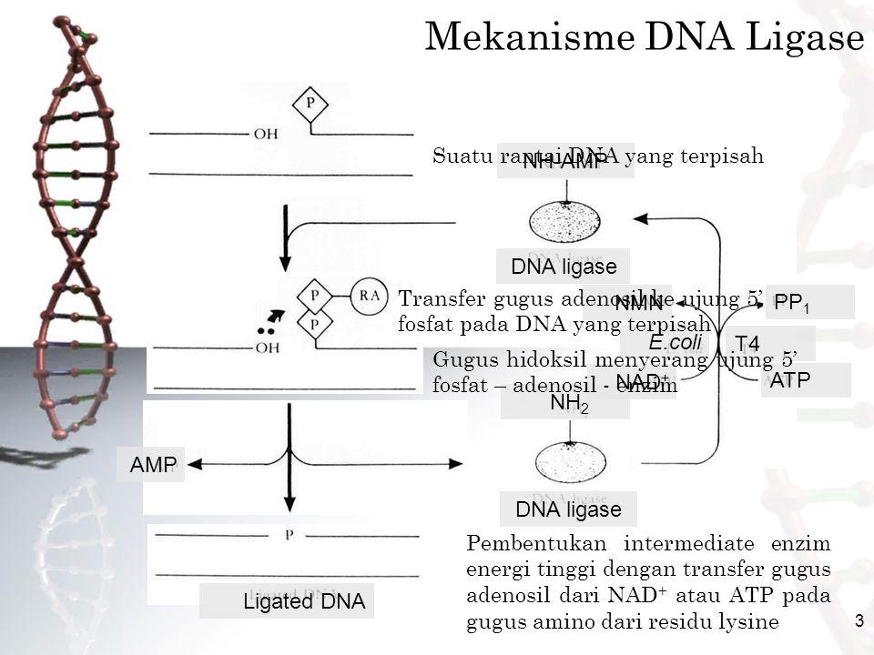Mekanisme DNA Ligase Suatu rantai DNA yang terpisah NH-AMP DNA ligase