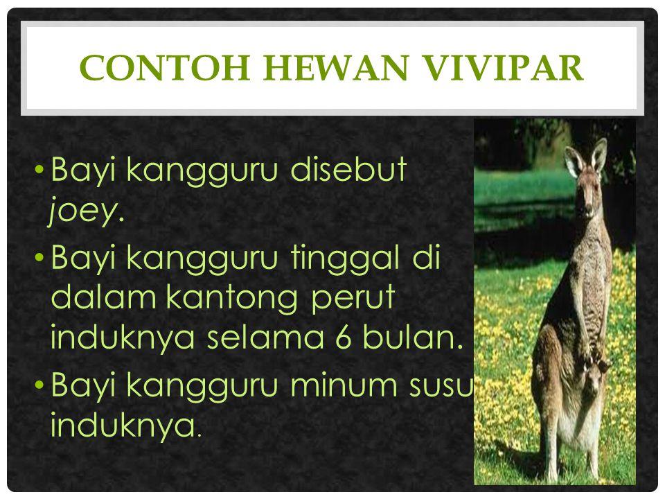 Contoh hewan vivipar Bayi kangguru disebut joey.