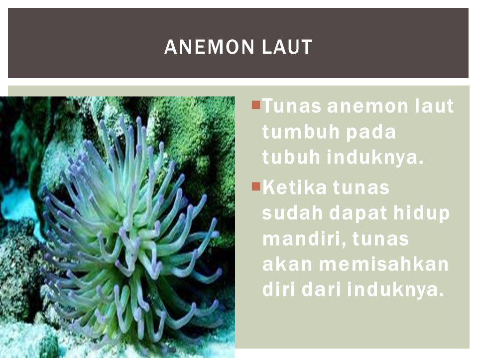 Anemon laut Tunas anemon laut tumbuh pada tubuh induknya.