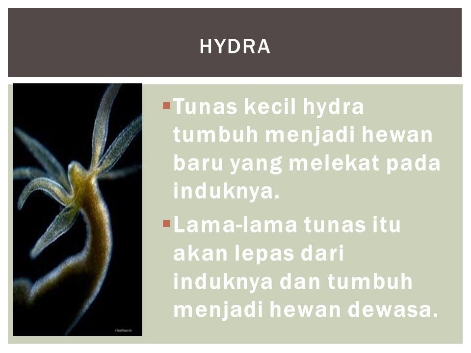 Hydra Tunas kecil hydra tumbuh menjadi hewan baru yang melekat pada induknya.