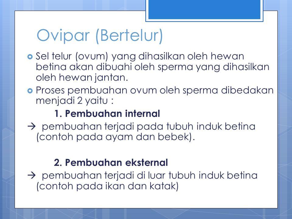 Ovipar (Bertelur) Sel telur (ovum) yang dihasilkan oleh hewan betina akan dibuahi oleh sperma yang dihasilkan oleh hewan jantan.