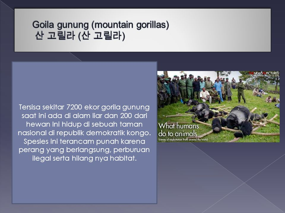 Goila gunung (mountain gorillas) 산 고릴라 (산 고릴라)