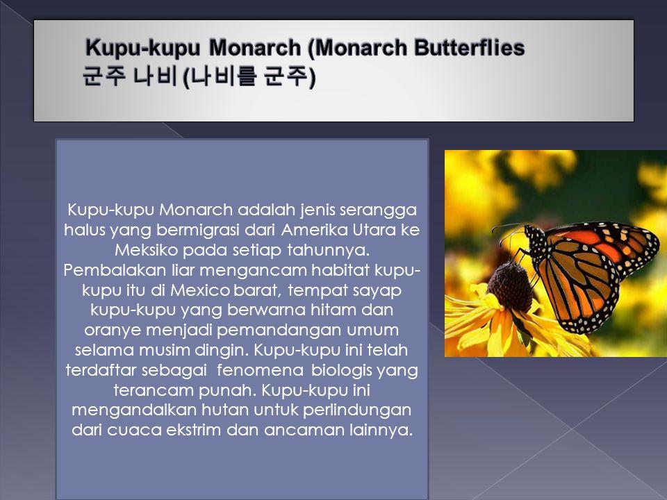 Kupu-kupu Monarch (Monarch Butterflies 군주 나비 (나비를 군주)