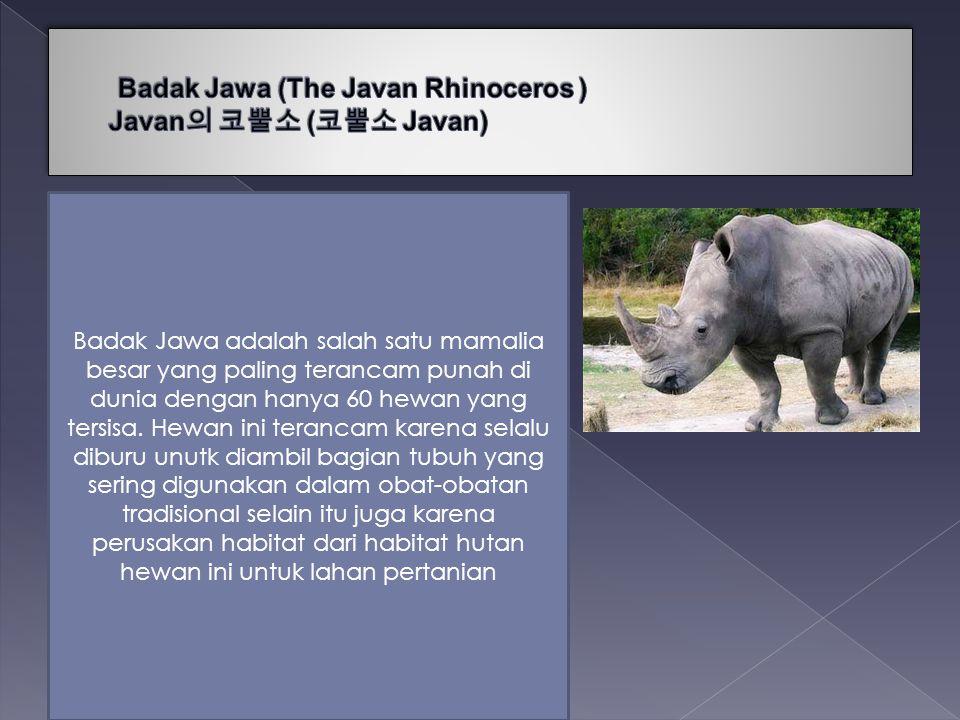 Badak Jawa (The Javan Rhinoceros ) Javan의 코뿔소 (코뿔소 Javan)