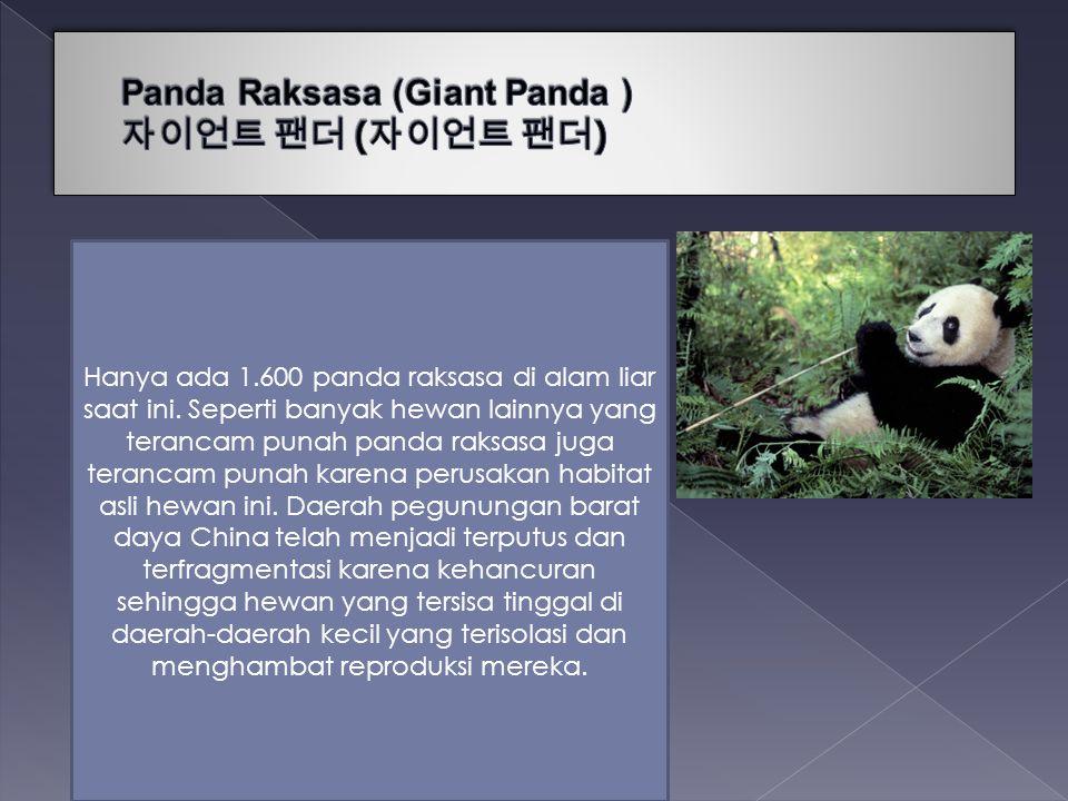 Panda Raksasa (Giant Panda ) 자이언트 팬더 (자이언트 팬더)