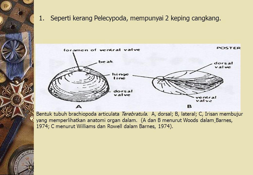 Seperti kerang Pelecypoda, mempunyai 2 keping cangkang.