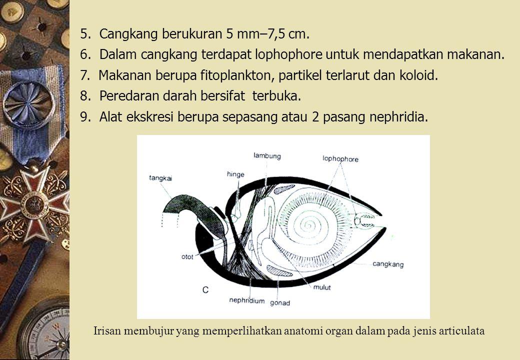 5. Cangkang berukuran 5 mm–7,5 cm.