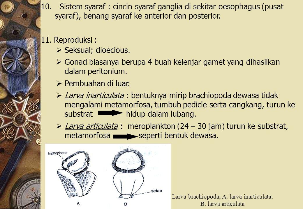 Larva brachiopoda; A. larva inarticulata;
