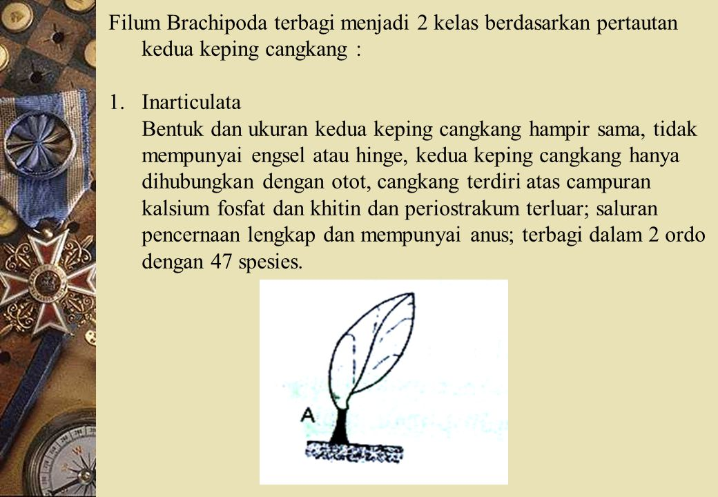 Filum Brachipoda terbagi menjadi 2 kelas berdasarkan pertautan kedua keping cangkang :