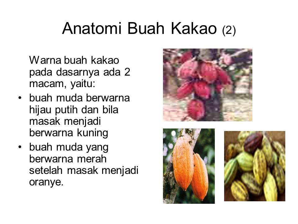 Anatomi Buah Kakao (2) Warna buah kakao pada dasarnya ada 2 macam, yaitu: buah muda berwarna hijau putih dan bila masak menjadi berwarna kuning.