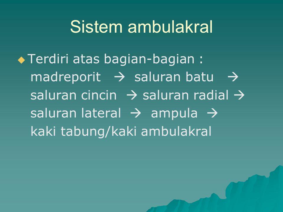 Sistem ambulakral Terdiri atas bagian-bagian :