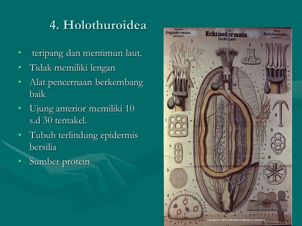 4. Holothuroidea teripang dan mentimun laut. Tidak memiliki lengan