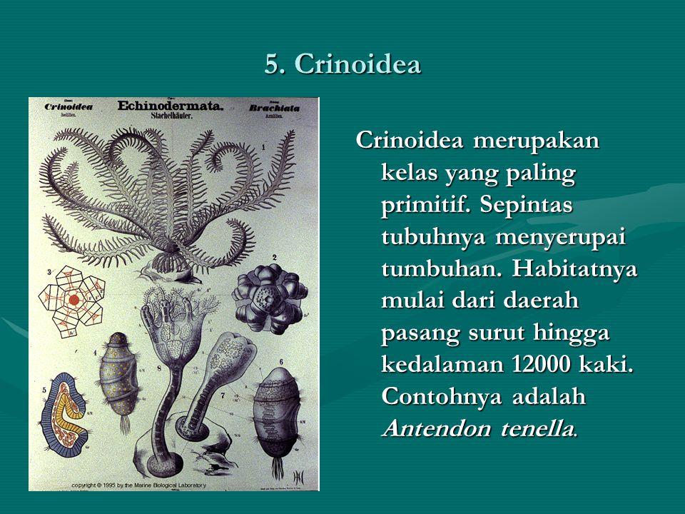 5. Crinoidea