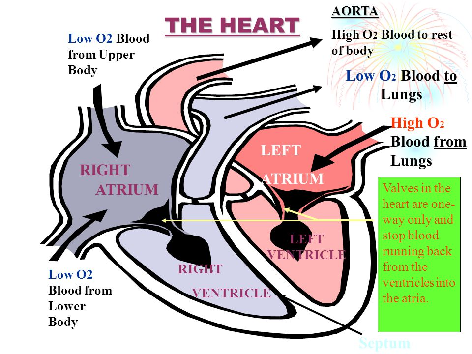 THE HEART Low O2 Blood to Lungs High O2 Blood from Lungs LEFT ATRIUM