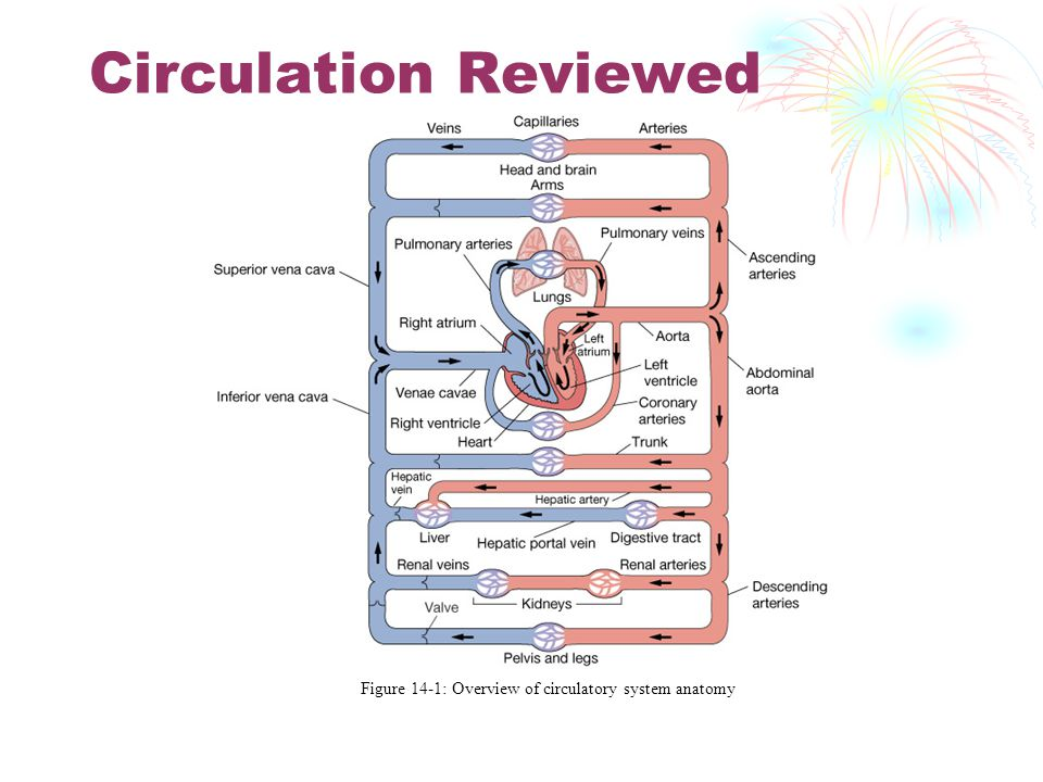 Figure 14-1: Overview of circulatory system anatomy