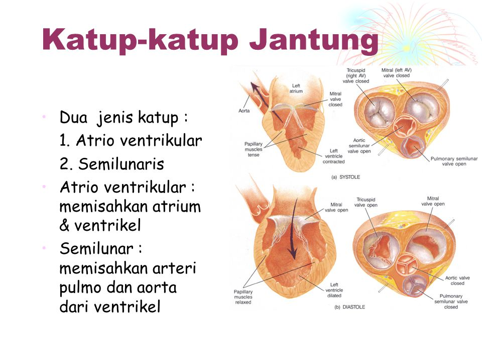 Katup-katup Jantung Dua jenis katup : 1. Atrio ventrikular