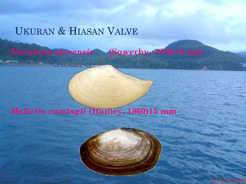 Ukuran & Hiasan Valve Nuculana elenensis (Sowerby, 1833)12 mm Malletia cumingii (Hanley, 1860)15 mm