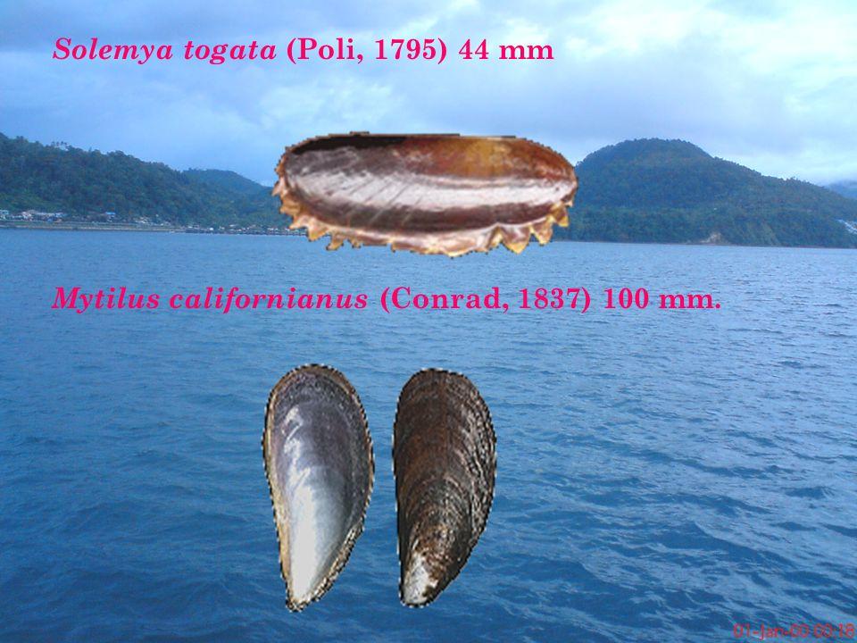 Solemya togata (Poli, 1795) 44 mm Mytilus californianus (Conrad, 1837) 100 mm.