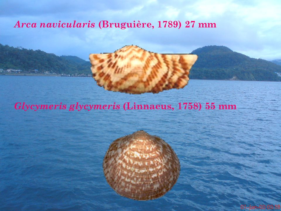 Arca navicularis (Bruguière, 1789) 27 mm Glycymeris glycymeris (Linnaeus, 1758) 55 mm