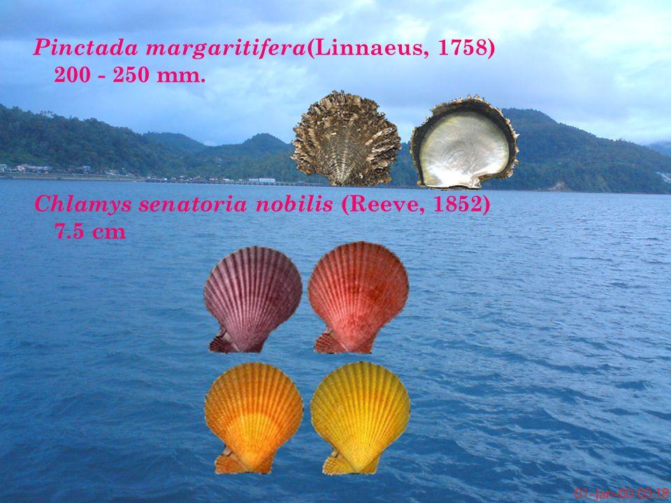 Pinctada margaritifera(Linnaeus, 1758) 200 - 250 mm