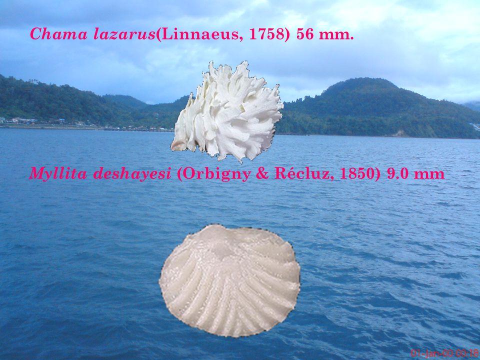Chama lazarus(Linnaeus, 1758) 56 mm