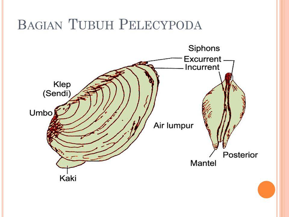 Bagian Tubuh Pelecypoda