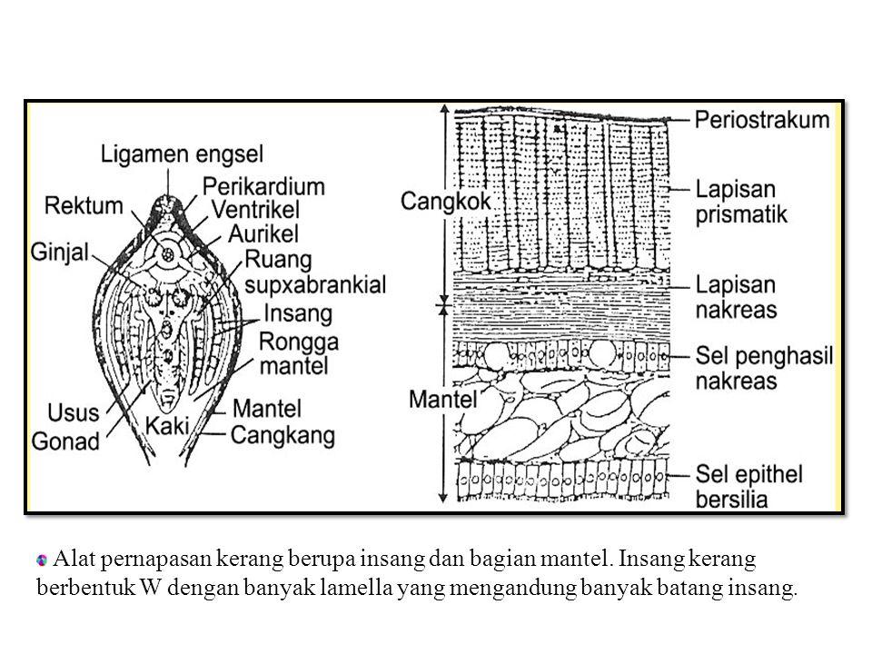 Gambar bagian-bagian tubuh kerang yang dipotong secara melintang :