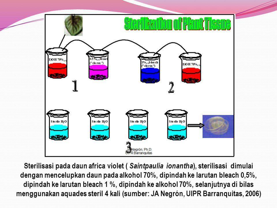 Sterilisasi pada daun africa violet ( Saintpaulia ionantha), sterilisasi dimulai dengan mencelupkan daun pada alkohol 70%, dipindah ke larutan bleach 0,5%, dipindah ke larutan bleach 1 %, dipindah ke alkohol 70%, selanjutnya di bilas menggunakan aquades steril 4 kali (sumber: JA Negrón, UIPR Barranquitas, 2006)