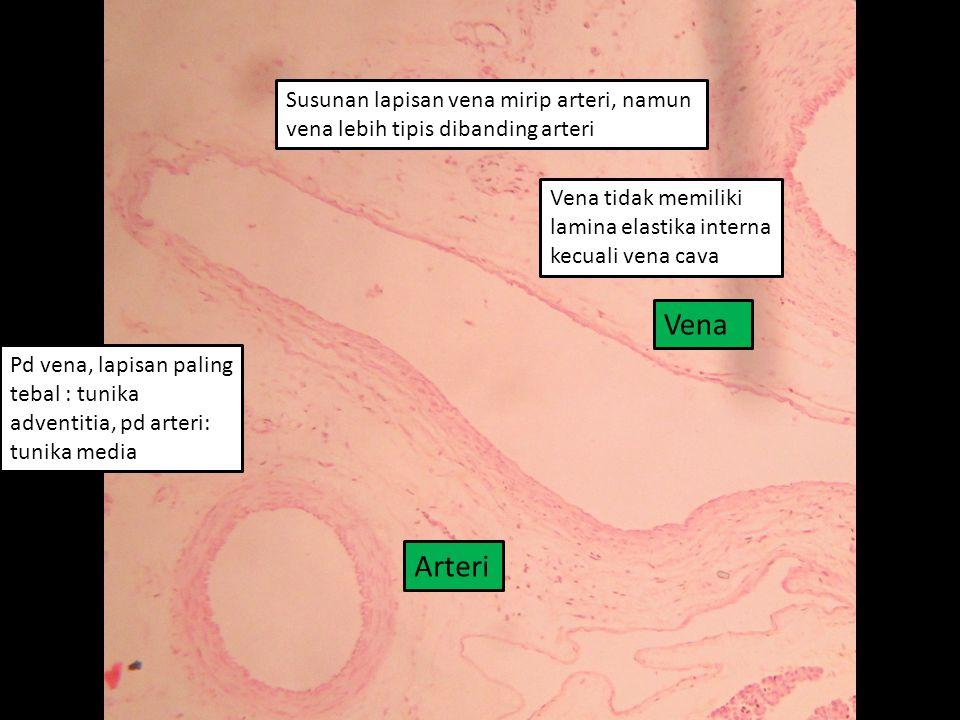 Susunan lapisan vena mirip arteri, namun vena lebih tipis dibanding arteri