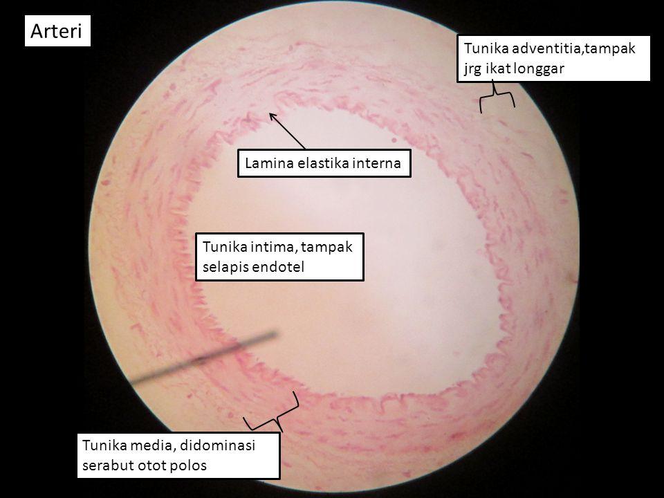Arteri Tunika adventitia,tampak jrg ikat longgar