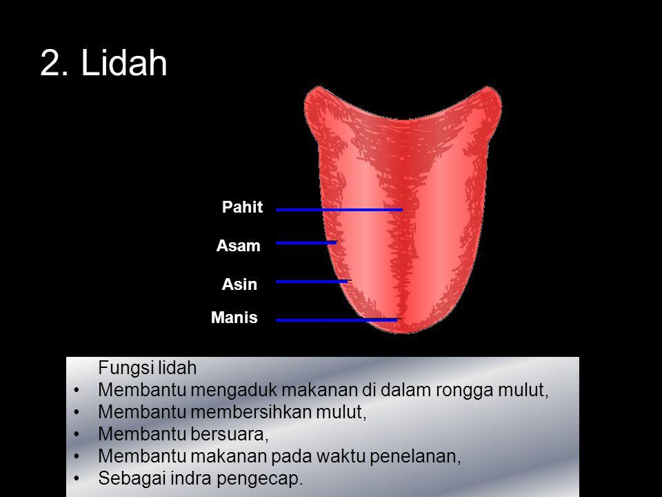 2. Lidah Fungsi lidah Membantu mengaduk makanan di dalam rongga mulut,