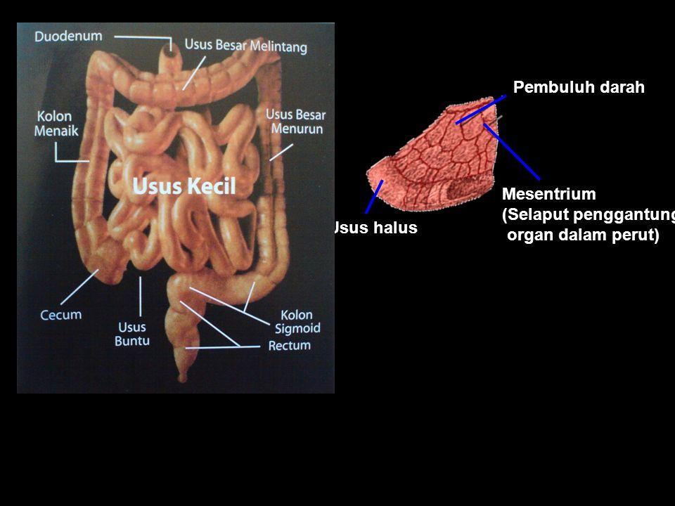 Pembuluh darah Mesentrium (Selaput penggantung organ dalam perut) Usus halus