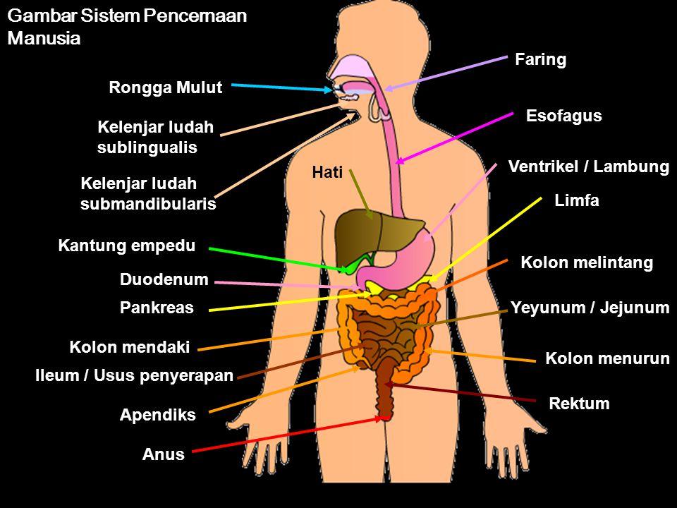 Gambar Sistem Pencernaan Manusia
