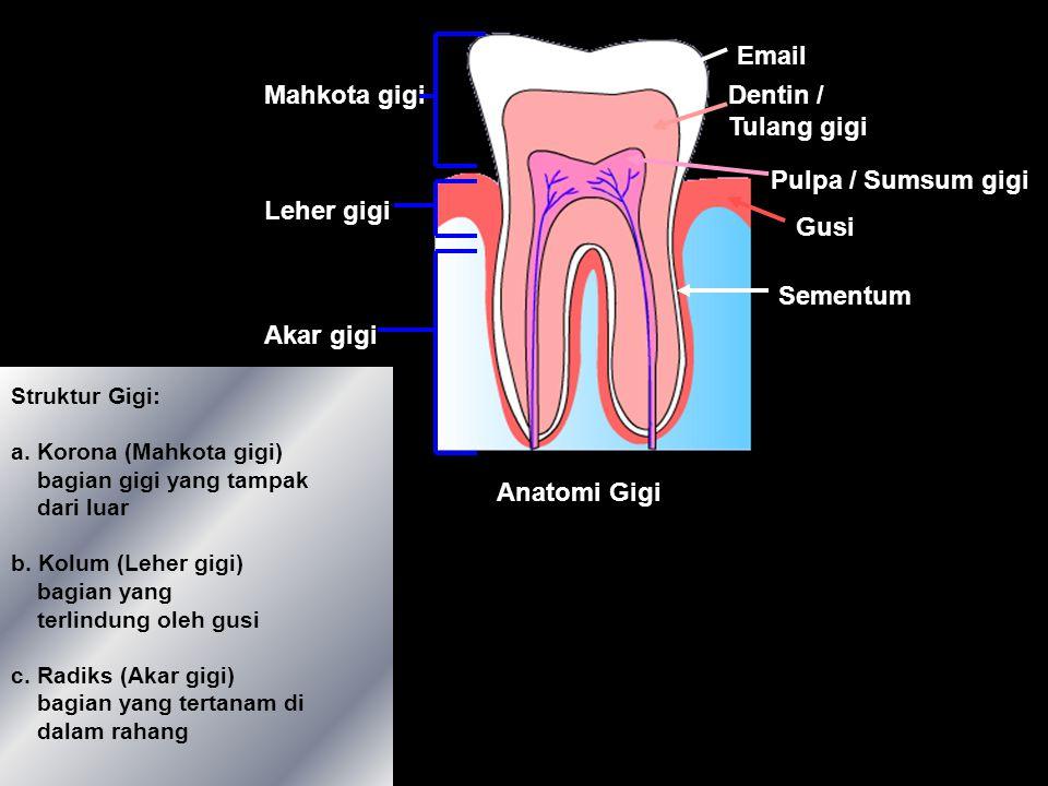 Anatomi Gigi Email Dentin / Tulang gigi Pulpa / Sumsum gigi Gusi