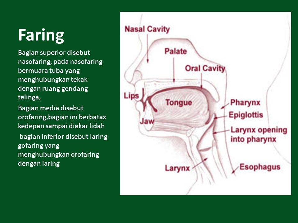 Faring Bagian superior disebut nasofaring, pada nasofaring bermuara tuba yang menghubungkan tekak dengan ruang gendang telinga,