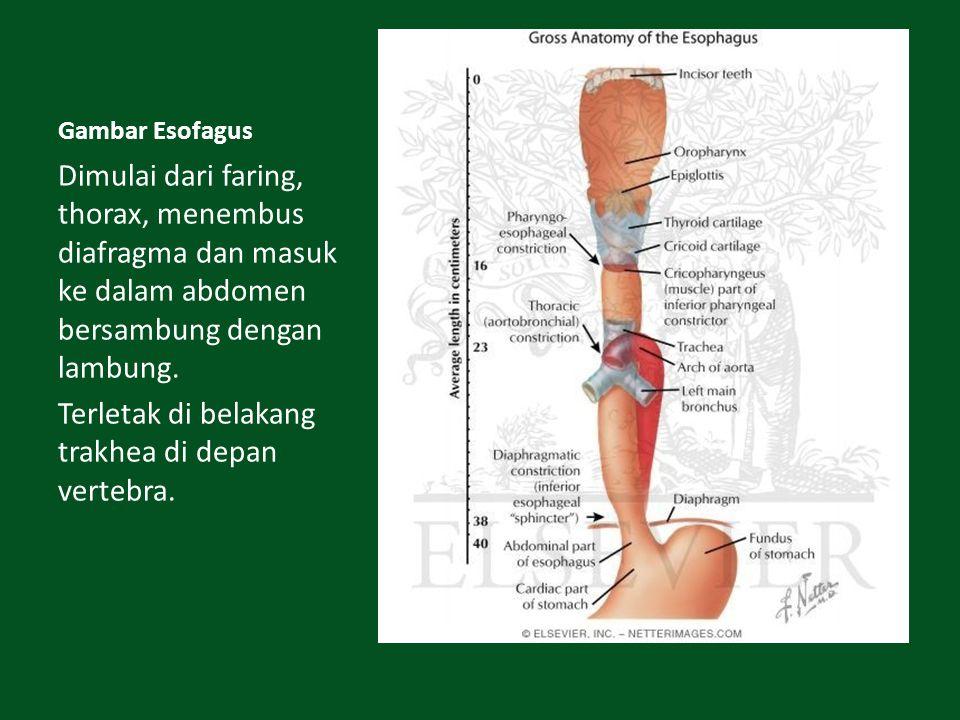 Terletak di belakang trakhea di depan vertebra.