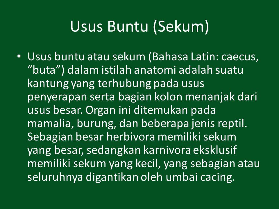 Usus Buntu (Sekum)